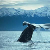 coda-balena